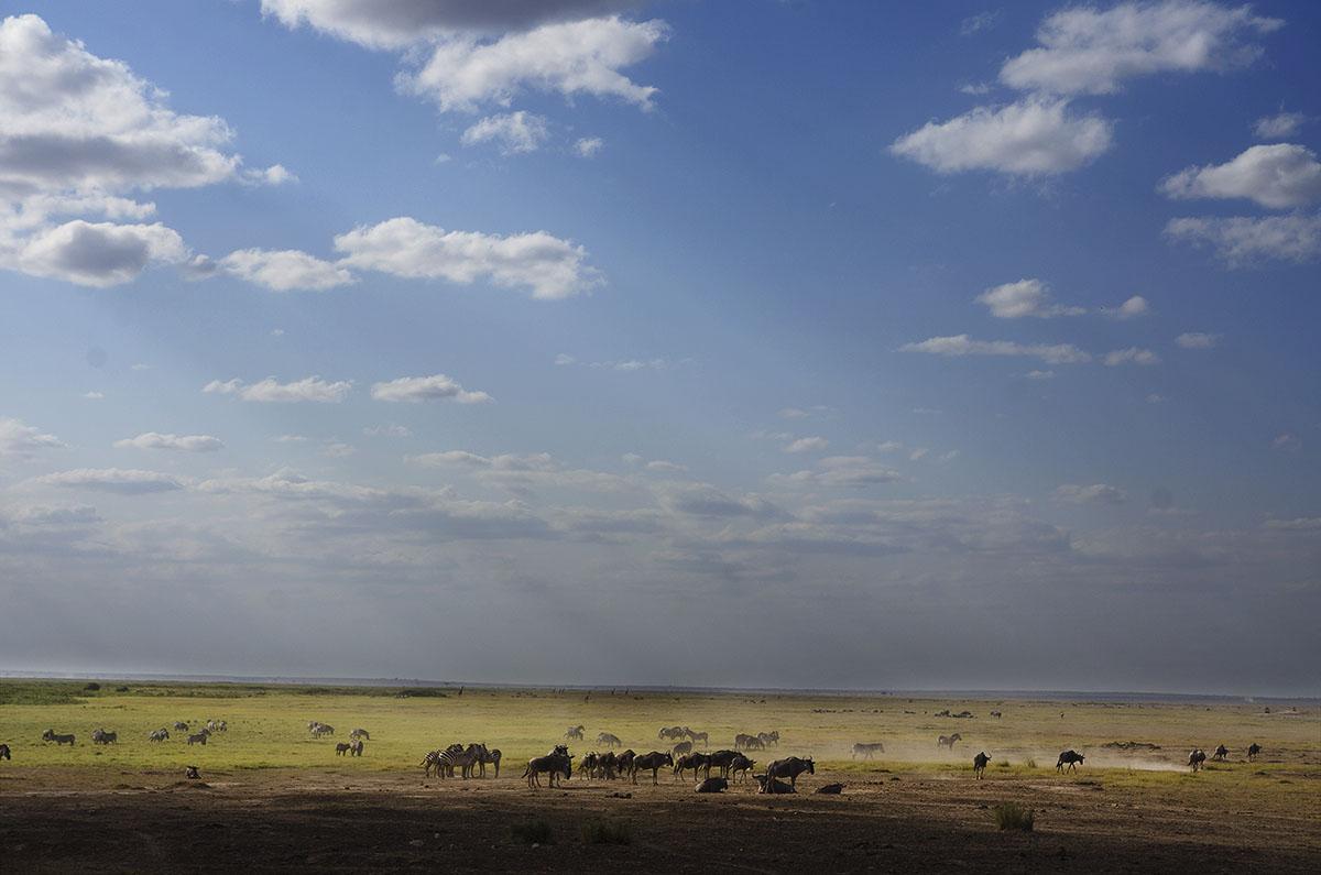 Grupo de ñús en Amboseli