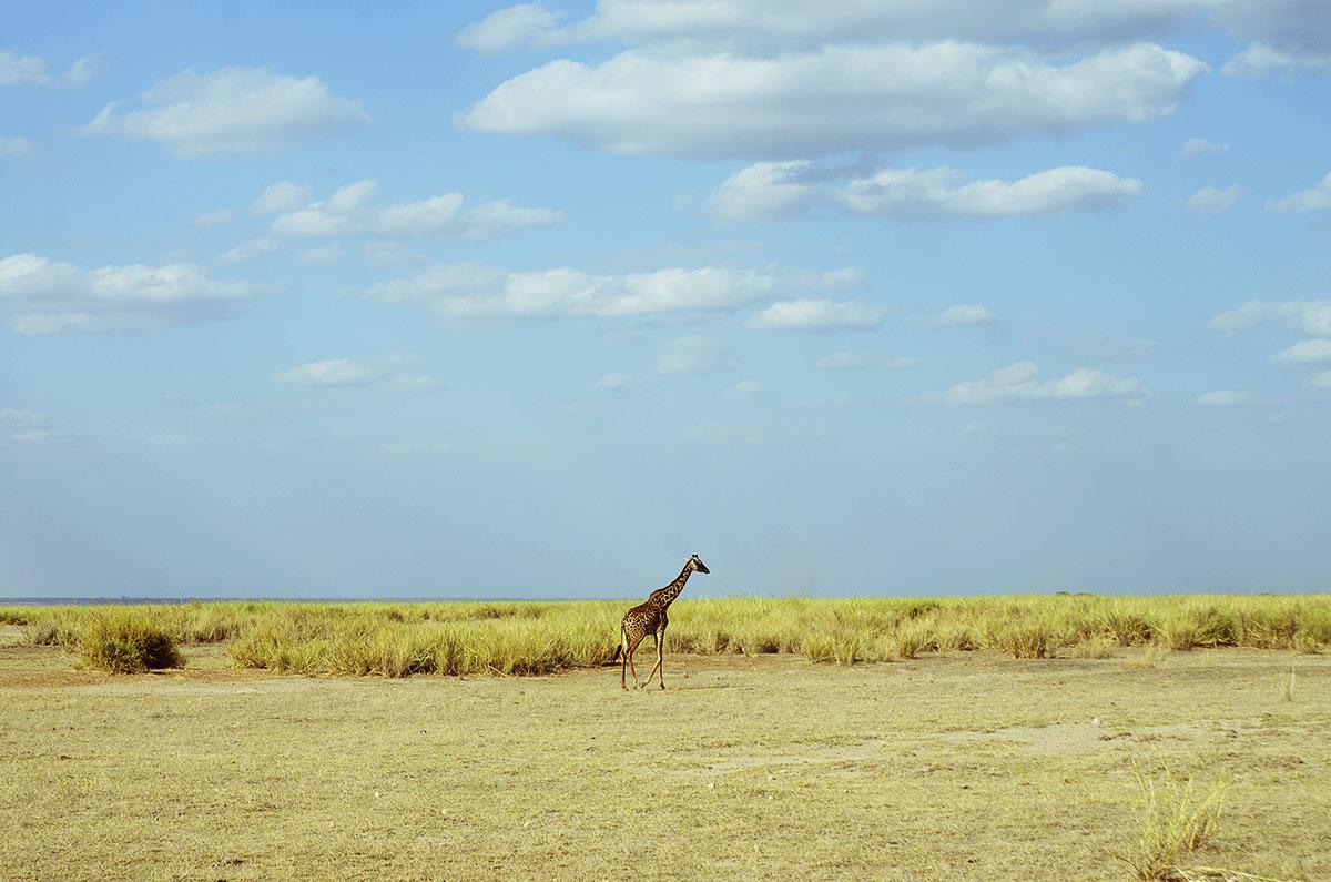 Jirafa en Amboseli