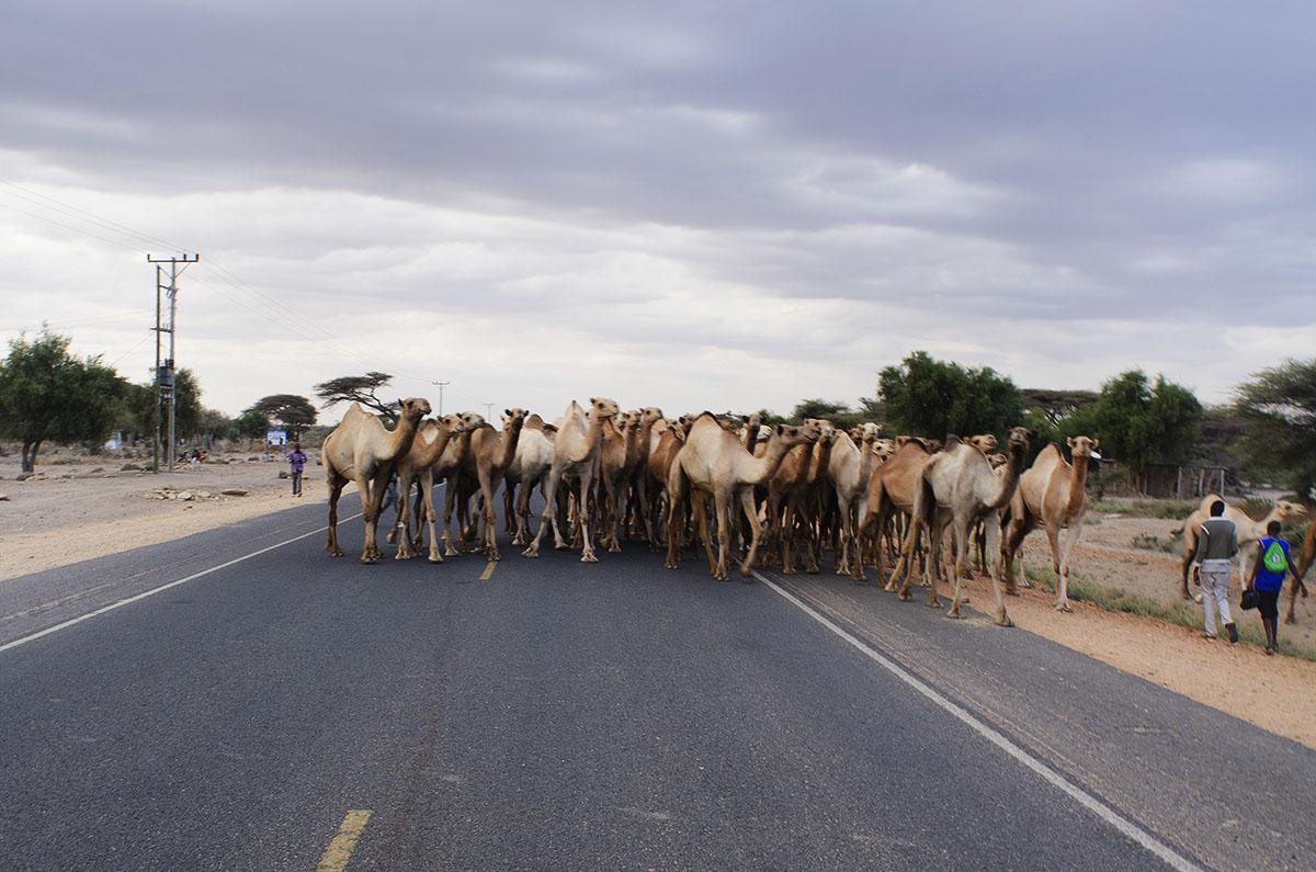 Camellos en el desierto de Kenya