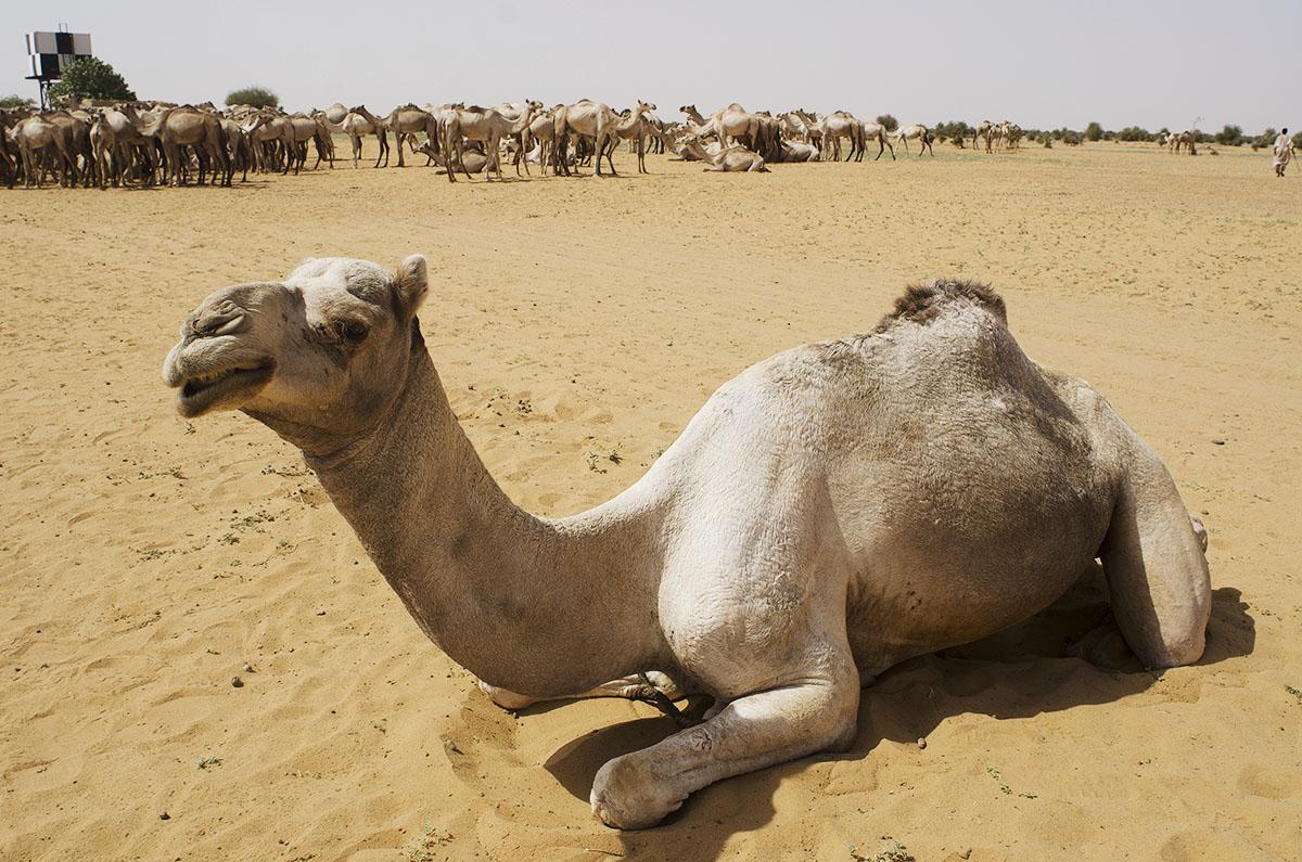 Camello en Sudán
