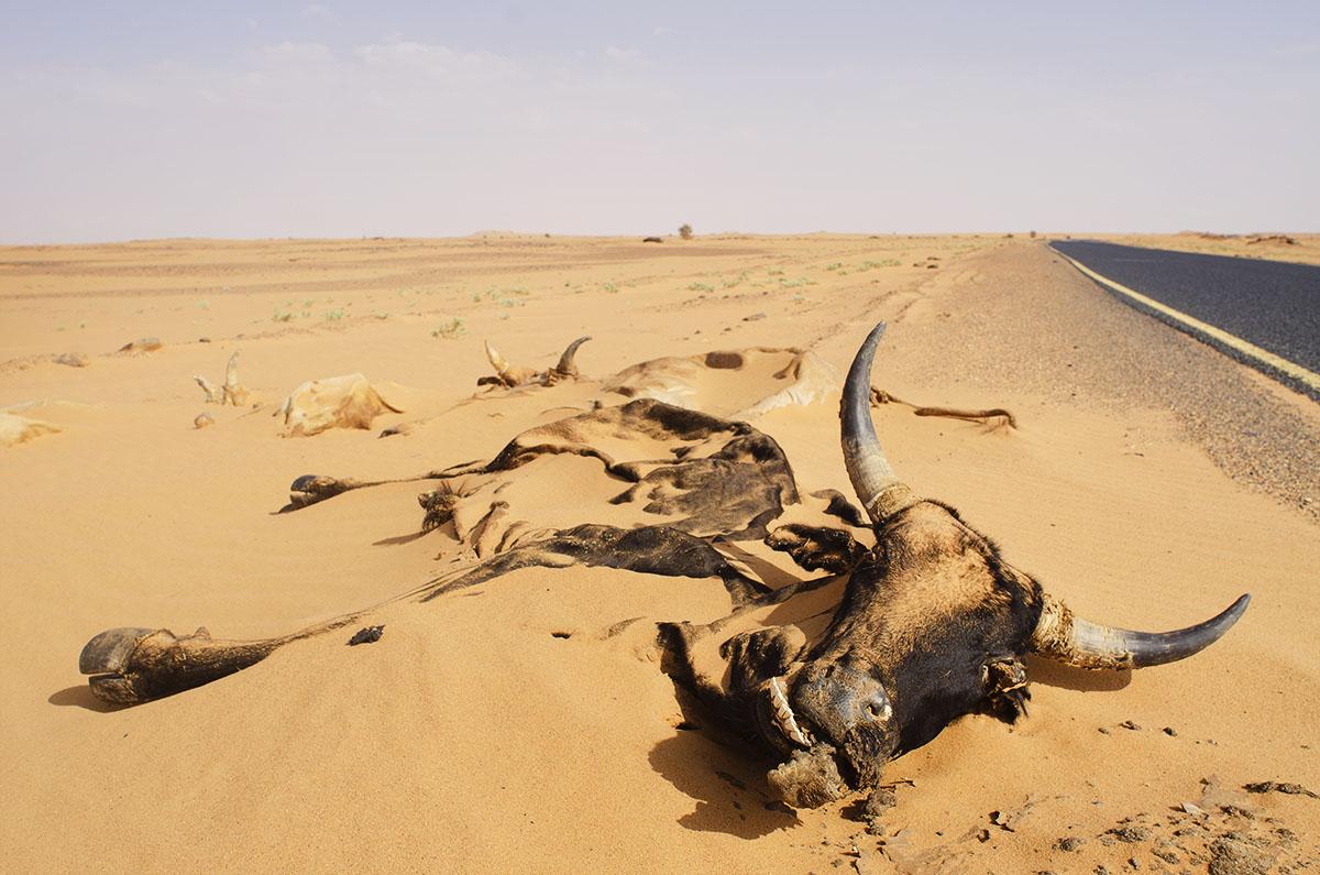 Restos de una vaca en el desierto de Sudán